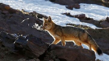 A fox walks through the Valle Nevado ski resort in Chile, which had to close a month earlier than normal. Every year, the Andes lose snow, triggering an energy crisis in the South American country. (Marcelo Hernandez/Getty Images)