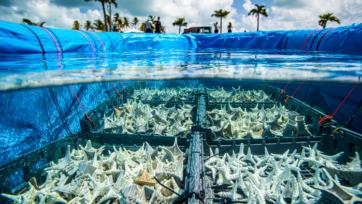 Los mesocosmos flotantes, denominados 'cuencas in situ de cría de corales', o CRIBS, producen larvas de coral sin necesidad de laboratorios terrestres o instalaciones de acuicultura. (Paul A. Selvaggio)