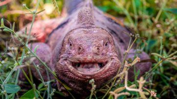 En el mundo solo quedan 211 iguanas terrestres rosadas. Su hábitat natural es la isla Isabela en el archipiélago de Galápagos. (Joshua Vela Galapagos Conservancy/Zenger)