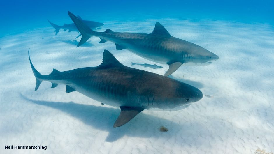 VIDEO: Jaws Dropping: Scientists Tell How Tiger Sharks Pick And Choose Their Friends