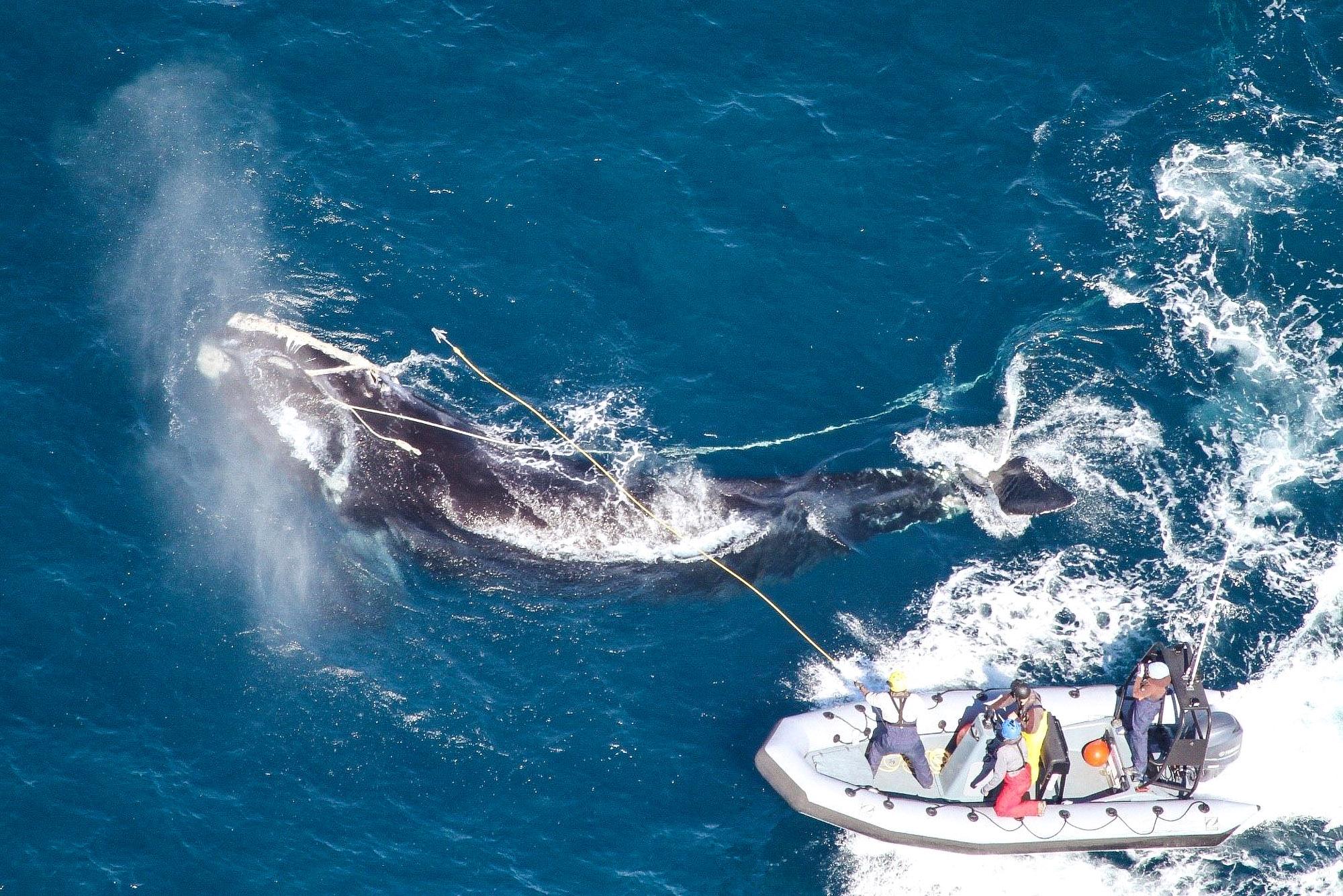 VIDEO: El calentamiento global lleva a las ballenas árticas a aguas peligrosas