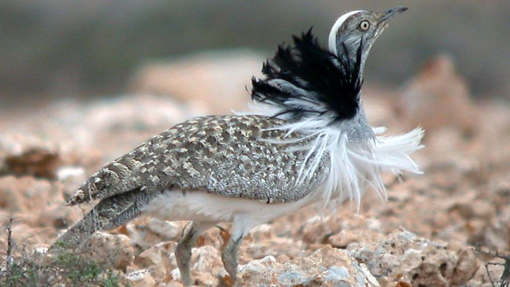 Uptick In Number Of Endangered Houbaras Spotted In Southern Israel