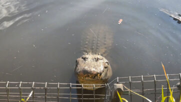 The 20 American alligators at the Australian Reptile Park send out a bellowing mating call. (Australian Reptile Park/Zenger)