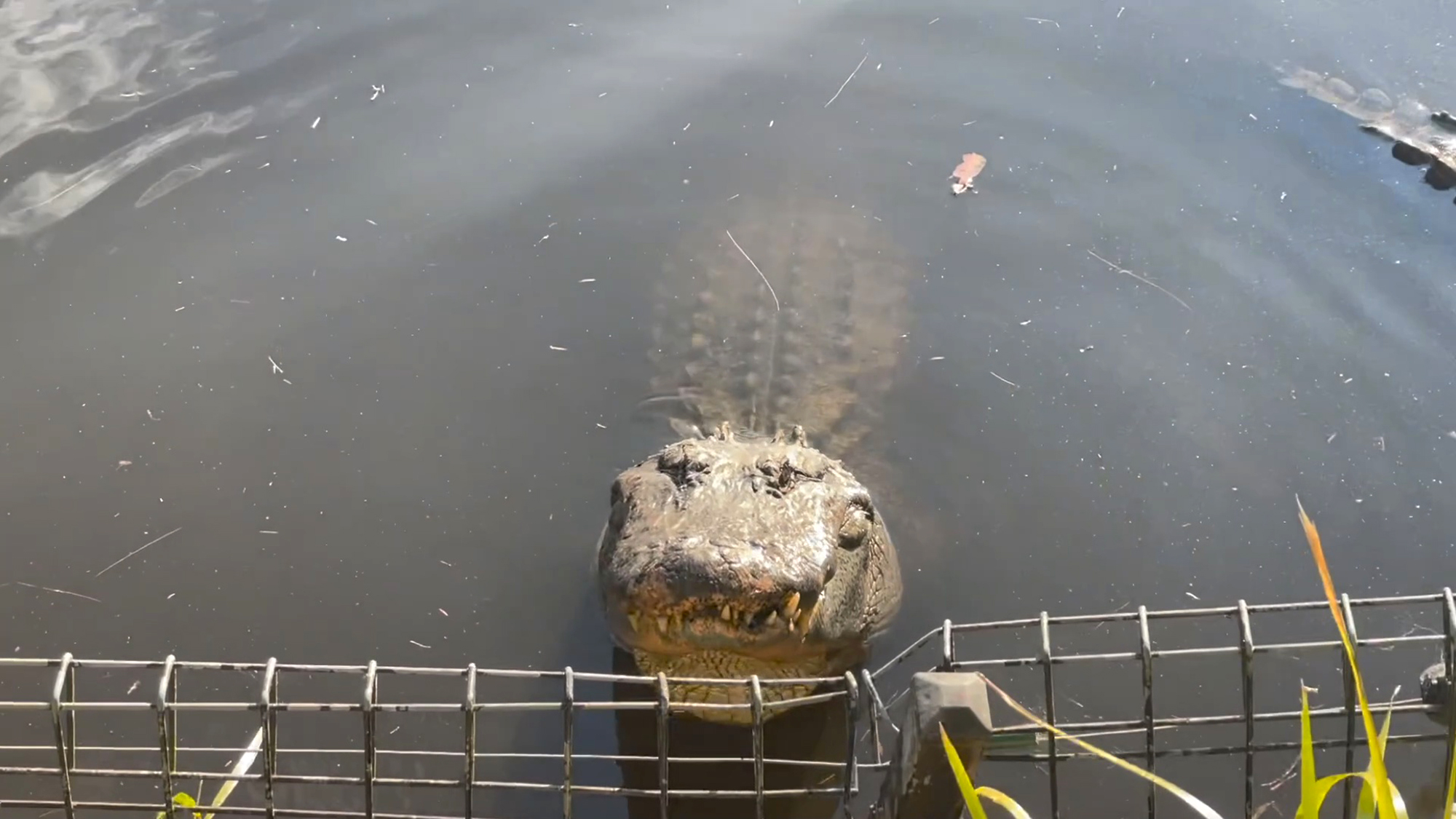 <p>The 20 American alligators at the Australian Reptile Park send out a bellowing mating call. (Australian Reptile Park/Zenger)</p>