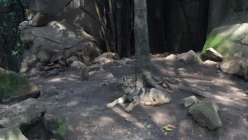 En el Zoologico de Chapultepec, dos lobos mexicanos nacieron en abril de 2021. Su seguridad y desarrollo se fomentan el el lugar. (Larsa Barón/Zenger News)