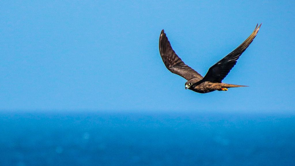<p>A dark morph Eleonora's falcon flies over the Atlantic Ocean off the coast of West Africa. Though they are strong birds, the falcons are highly selective of supportive winds during transoceanic migration, researchers say. (Wouter Vansteelant/Zenger)</p>