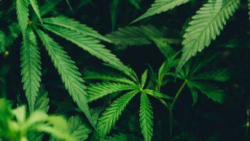 strongLos cannabinoides en los productos de hoy se encuentran solo en las flores secas de cannabis. La planta viva contiene los ácidos que son los precursores de estos cannabinoides, dice Reshef Swisa, director ejecutivo de EPM. (Matthew Brodeur/Unsplash)/strong