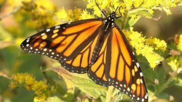 The monarch butterfly is a species of milkweed butterfly. (Alan Schmierer/Flickr)