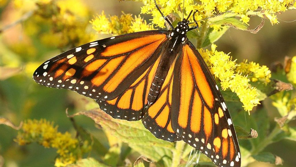 Milkweed Butterflies Observed For The First Time Feeding On Live Young