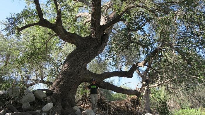 Un tercio de los árboles del mundo está en peligro de extinción
