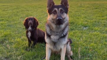 Northamptonshire, England, police dogs Bryn and Socks are OK after a run-in with a car thief. (Northants Police/Zenger)