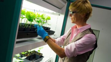 A plant virus that's harmless to humans may help the immune system fight the spread of metastatic cancer to the lungs. Pictured, researcher Nicole Steinmetz examines specimens in a growth chamber. (UC-San Diego)