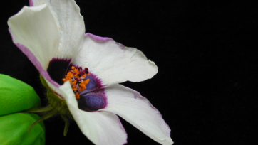 Mechanical buckling produces striations on some flower petals that cause iridescence that attracts pollinators. Striations start to form in the cuticle on the upper surface of the purple region of the Hibiscus trionum petal during the early stages of bud development and are fully established by the time the flower is fully developed. (Chiara A. Airoldi)