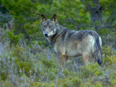 The future of the Iberian wolf, seen in its natural habitat in Sierra de la Culebra, has stirred heated debate in Spain. (Chisco Lema)