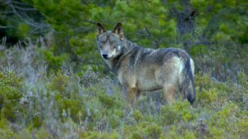 strongEl futuro del lobo ibérico, visto en su hábitat natural en la Sierra de la Culebra, ha suscitado un acalorado debate en España. (Chisco Lema)/strong