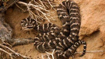 La víbora de foseta mongol (iGloydius intermedius), /ial igual que todas las demás serpientes modernas, evolucionó por los ofidios que sobrevivieron al evento de extinción masiva causado por el impacto de un asteroide hace 66 millones de años. (Nick Longrich/Zenger)