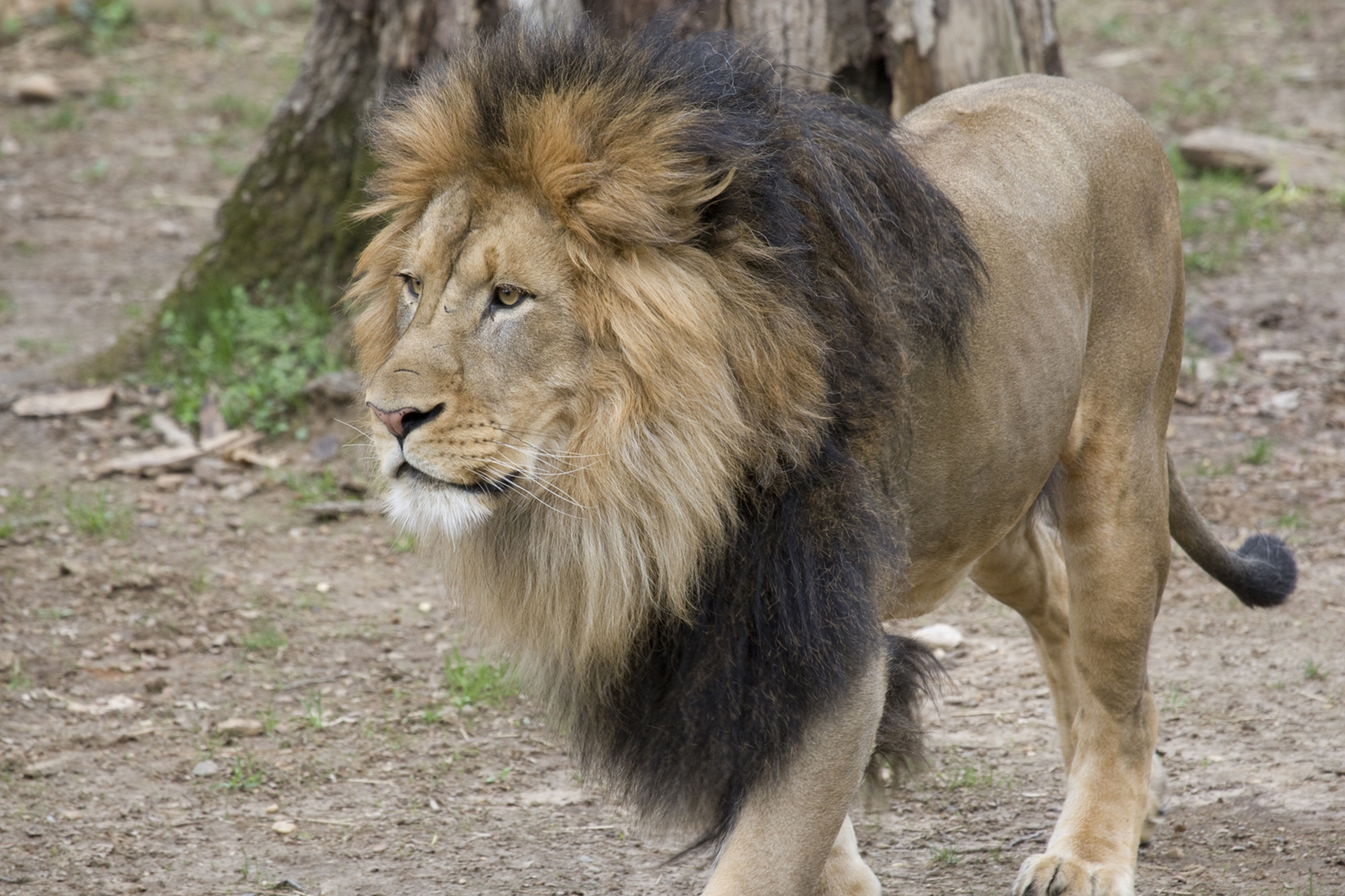 VIDEO: Feline Poorly: Lions And Tigers Struck Down With COVID