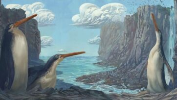 An illustration of the Kawhia giant penguin Kairuku waewaeroa. (Simone Giovanardi/Zenger)