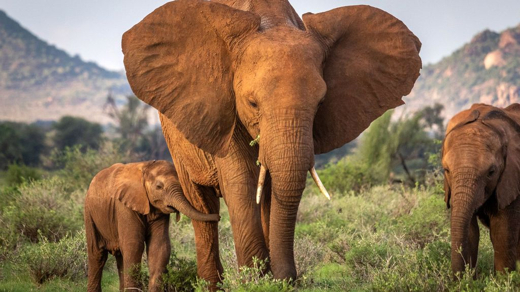 Baby Elephants Orphaned By Poachers Still Struggle To Survive With New Herds