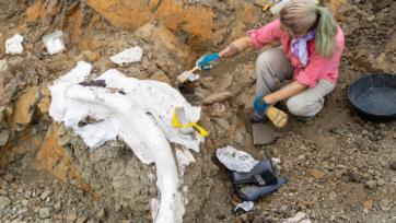 Paleontologist Kelsie Abrams examines fossils in situ, protected by plaster jackets. (Rachel Ormiston, Burke Museum, University of Washington)