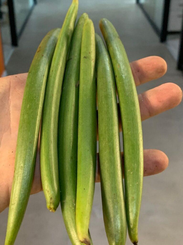 Vanilla beans harvested in May. (Vanilla Vida/Bar Cohen)