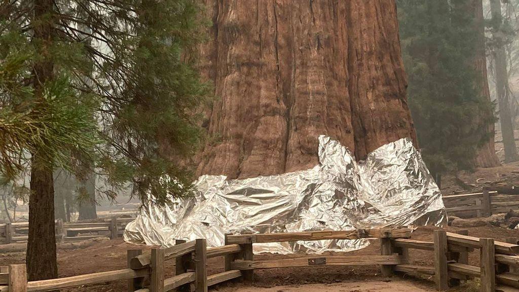 VIDEO: Un árbol secuoya de 83 metros de alto sobrevive a incendio forestal gracias a mantas ignífugas