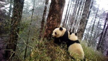 Pandas seen snuggling in the Wolong Nature Reserve in China. Researchers are concerned too much of the good life is making pandas less inclined to mate and thus putting their future existence at risk. (Jindong Zhang, MSU/Zenger News)