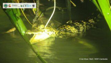 Un cocodrilo siamés, especie extremadamente rara, capturado en vídeo en el área silvestre de Srepok, Camboya, durante el año en curso. (Ien Khve, Ministerio de Educación, WWF-Camboya/Zenger)