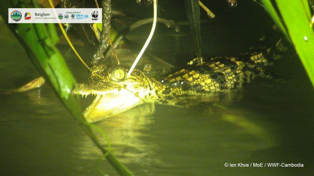 VÍDEO: Nadadores siameses: cocodrilos bebés rara vez vistos se zambullen al agua