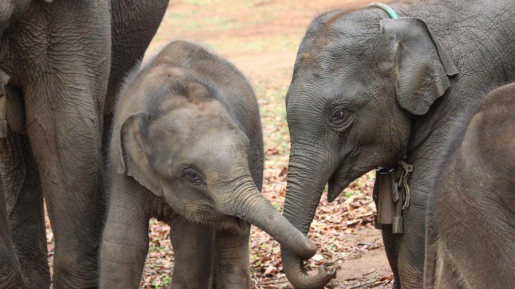 Sister Pact: Female Elephant Calves Live Longer When Raised With Older Sisters