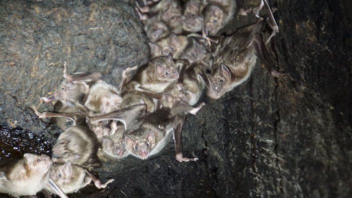 Blood Sisters: Vampire Bats Enjoy Getting A Bite To Eat With Friends