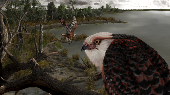Agile Ancient Eagle Ruled The Roost 25 Million Years Ago