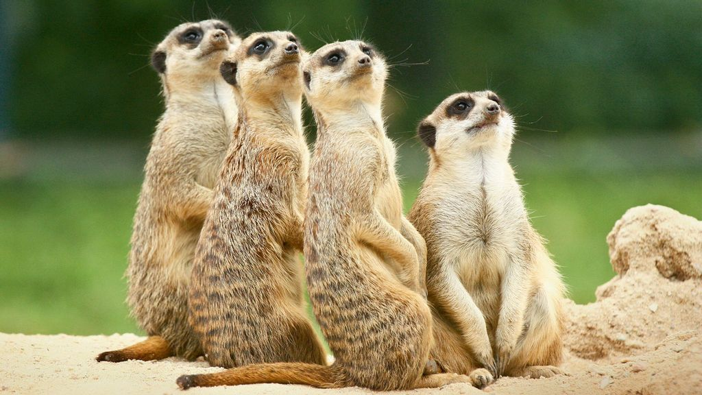 Meerkat Colony Died When Their Zoo Burrow Buried Them Alive