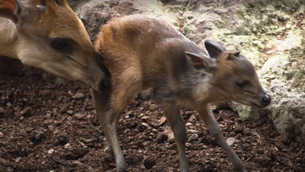 VIDEO: Spanish Zoo Films Baby Antelope Learning How To Walk