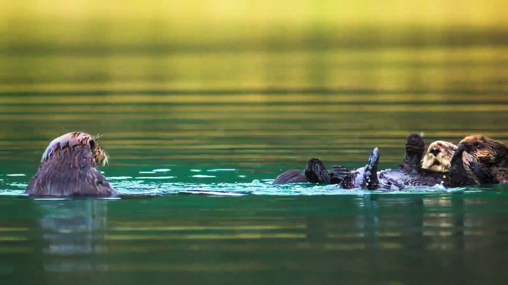 VIDEO: Five Star Munch: Adorable Moment Sea Otters Lunch On Starfish