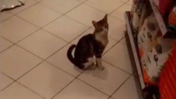 El gatito espera frente al anaquel de comida para gatos. Los clientes de la tienda de Estambul han quedado cautivados con el gatito y, a menudo, le compran alimento. (@ozanngoksu/Zenger)