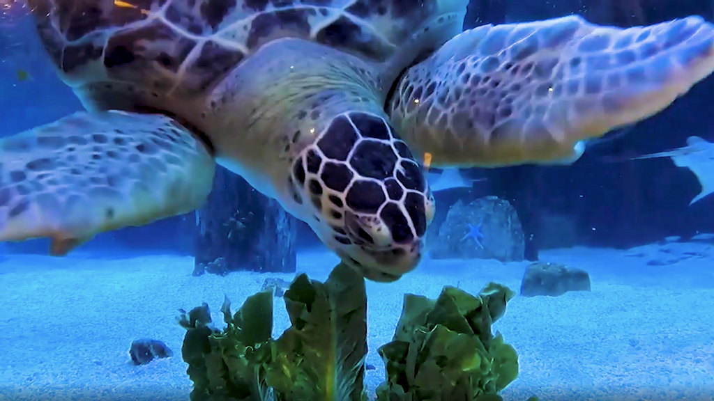 VIDEO: Turtlely Delicious: Green Sea Turtle Charlotte Gets Her Own Salad Bar