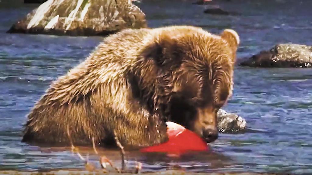 VIDEO: Alaskan Brown Bears Pack On Pounds Before Winter Hibernation