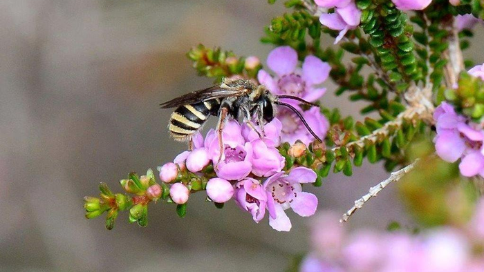Australian Bees Endangered By Brushfires And Climate Change