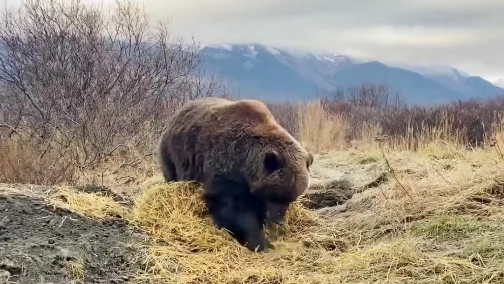 VIDEO Cold Comfort: Huge Bear Not So Grizzly As She Settles Down To Sleep Through Winter