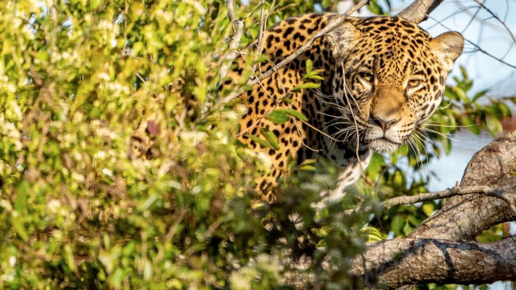 VIDEO: Hope For Once-Extinct Jaguars In Argentina After Female Released Into Wild