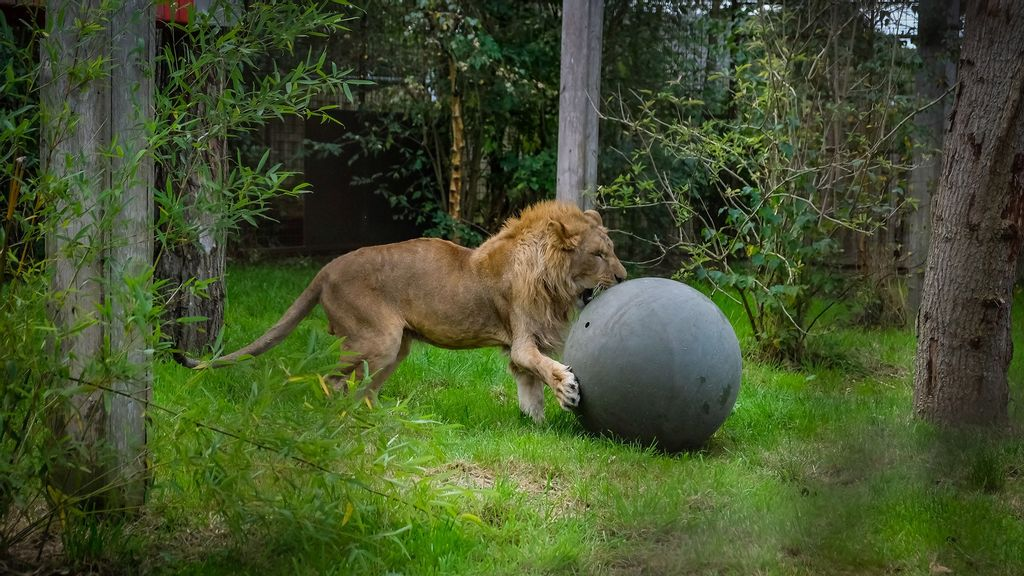 VIDEO: Roar Steal: 7 At-Risk Lions Seized From Cruel Breeder
