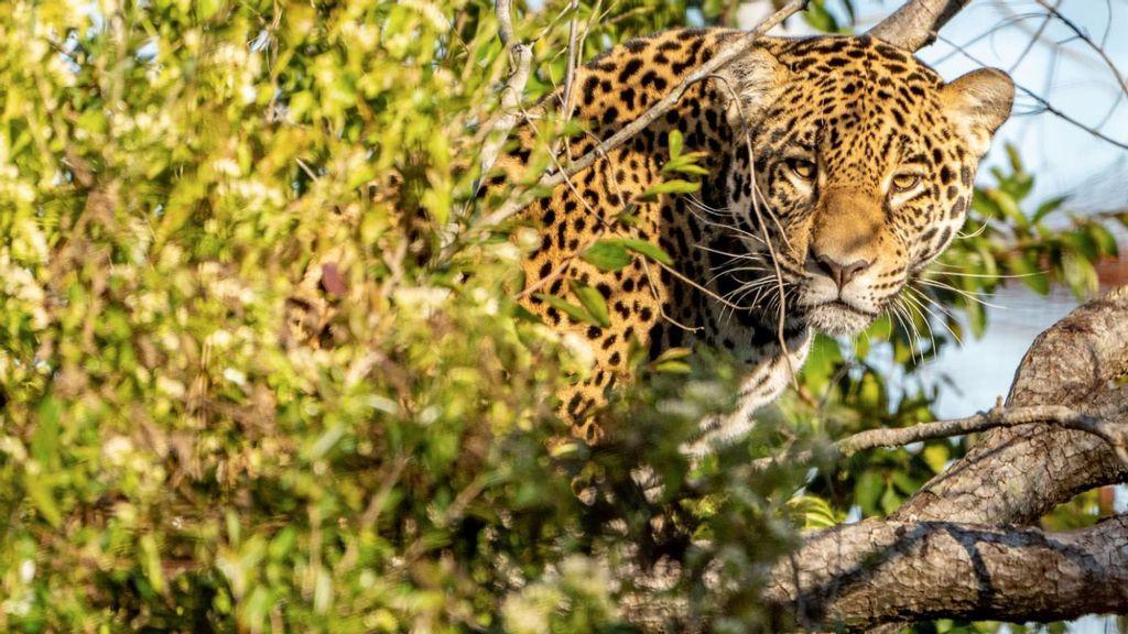 VÍDEO: Nueva esperanza para jaguares en Argentina tras la liberación de una hembra a la naturaleza