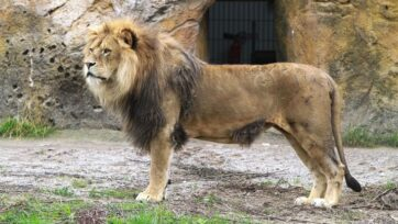 The lion known as Massino had a claw in his left eye for several days before a Wuppertal Zoo vet removed it. (Grune Zoo Wuppertal/Zenger)