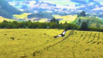 Un censo nacional realizado en 2018 encontró que solo quedan 150 cóndores andinos (Vultur gryphus) en Ecuador. La especie está amenazada por la invasión humana de su hábitat. (Ministerio de Ambiente, Agua y Transición Ecológica de Ecuador/Zenger)