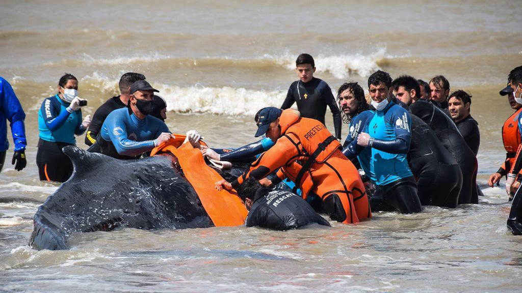 strongUna de las dos ballenas después de  quedar encallada en la costa de Buenos Aires. La hembra juvenil de ballena jorobada medía 9.8 metros de largo y pesaba aproximadamente ocho toneladas. (Fundación Mundo Marino/Zenger)/strong