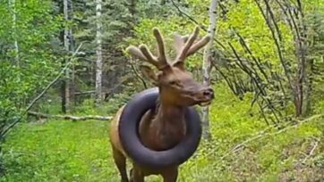 The bull elk with a tire around his neck in Colorado, sighted on May 6, 2020. (@CPW_NE, Dan Jaynes/Zenger)