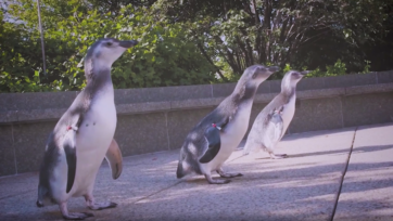 Magellanic penguin chicks born in late April to late May at the Shedd Aquarium in Chicago, Illinois, have taken their first steps outside to explore. They had their first swim in early August, after they got their juvenile waterproof feathers. (Shedd Aquarium/Zenger)