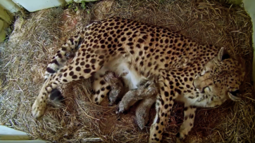 Cheetah Rosalie, a first-time mother, recently birthed 5 cubs at the Smithsonian Conservation Biology Institute in Washington, D.C. (Smithsonian National Zoo and Conservation Biology Institute/Zenger)
