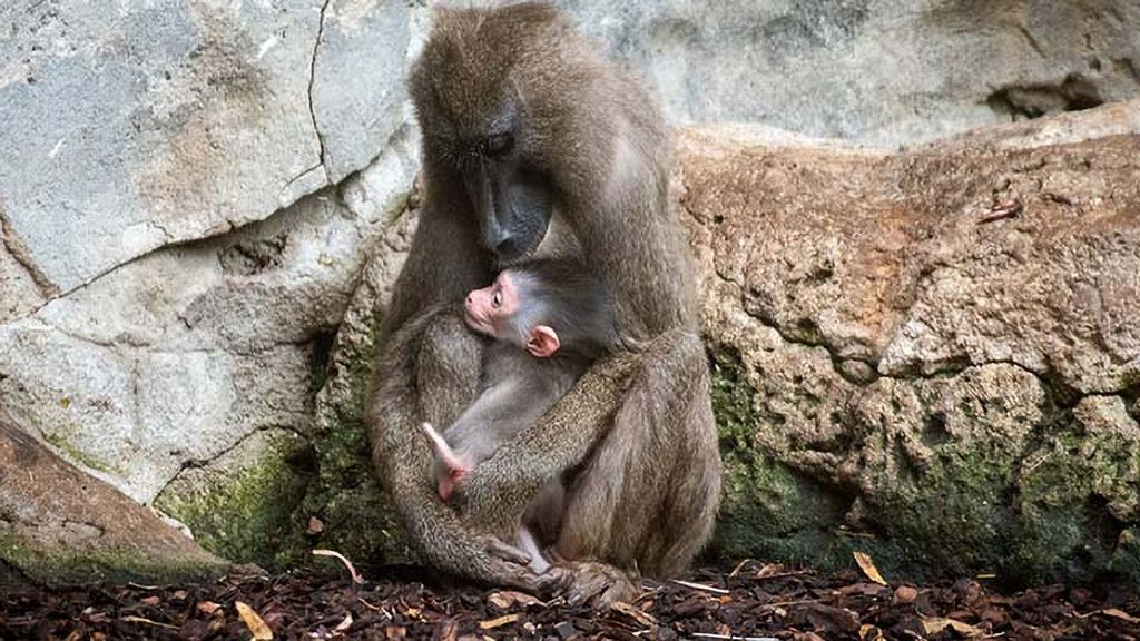 VIDEO: Baby Drill Goes Exploring As Mom Tries To Make Her Behave